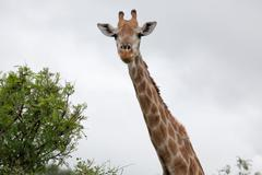 Watching Giraffe - stock photo