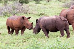 White rhinoceros family - stock photo