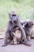 Family of Olive Baboon on the road - stock photo