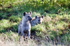Couple of Spotted Hyena Stock Photos
