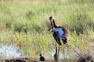Stock Photo of Black Stork family