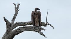White-backed Vultures on bare tree trunk - stock photo