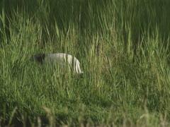 African sacred ibis, threskiornis aethiopica,in wetland, foraging Stock Footage