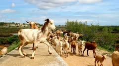Goats Spain Stock Footage