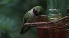 Broad-tailed Hummingbird male chased from feeder by Rufous Hummingbird female Stock Footage