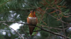 Rufous Hummingbird male CU perches, curses competitors Stock Footage