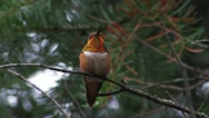 Stock Video Footage of Rufous Hummingbird male CU perches, curses competitors