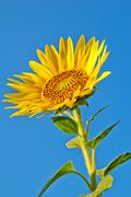 Stock Photo of sunflower