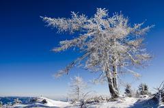 Frozen larch tree Stock Photos