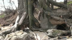 Interlacing roots of the tree Stock Footage