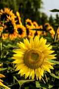 blooming sunflower in the field - stock photo