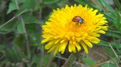 Ladybug Walking on Dandelion Flower and Falling Down, Macro, Field, Meadow, Lawn Stock Footage