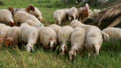 Sheep and goats Stock Footage