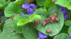 Firebugs Walking in Leaves of Violet Flowers, Lots of Red Bugs in Garden, Spring Stock Footage