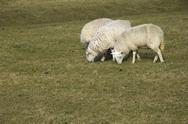 Stock Photo of Grazing sheep