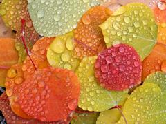 Colorful aspen leaves with raindrops Stock Photos