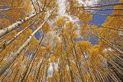 Autumn colored aspen trees, rocky mountains, colorado, usa Stock Photos