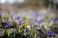 crocus and snowdrop flowers - stock photo