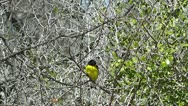 Stock Video Footage of Lesser Goldfinch on a Branch I