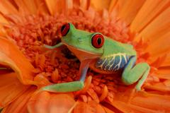 Stock Photo of red-eyed tree frog (agalychnis callidryas)