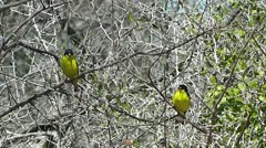 Lesser Goldfinches in the Brush II Stock Footage