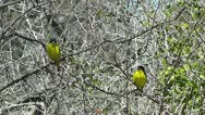 Stock Video Footage of Lesser Goldfinches in the Brush II