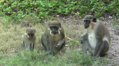 A family of Callithrix monkeys or Green monkeys Stock Footage