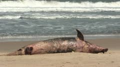 Dead Dolphin washed up on a beach. - stock footage