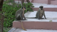Wild monkeys on hotel steps. Stock Footage