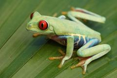 red-eyed tree frog (agalychnis callidryas) - stock photo