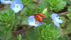 Ladybug Preparing Wings to Fly on Veronica Persica Flower, Ladybird, Bug, Bettle Stock Footage