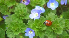 Ladybug Preparing Wings to Fly on Veronica Persica Flower, Ladybird, Bug, Macro Stock Footage