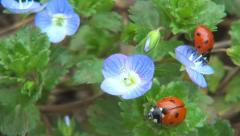 Ladybugs on Field Flowers on Meadow, Walking Ladybird on Lawn, Bug, Macro - stock footage