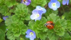 Ladybug Flying, Flight, Veronica Persica Flowers in Field, Ladybird, Bug, Macro Stock Footage