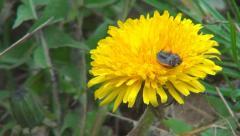 Macro Ladybug Walking on Dandelion Flower in Field, Meadow, Lawn, Spring Season Stock Footage