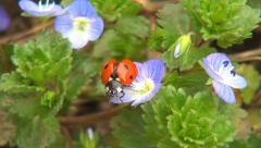 Ladybug Flying, Flight, Veronica Persica Flowers in Field, Ladybird, Bug, Macro - stock footage