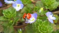 Stock Video Footage of Ladybug Flying, Flight, Veronica Persica Flowers in Field, Ladybird, Bug, Macro