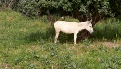 White donkey in field Stock Footage