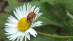 Ladybug Walking on a Daisy Flower in Field, Meadow, Lawn, Background, Ladybird Stock Footage