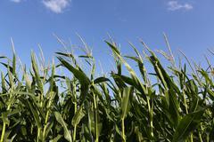 Close up of corn crop Stock Photos