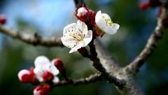 Stock Video Footage of Prunus tree in bloom.