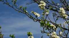 Prunus flowers. Stock Footage