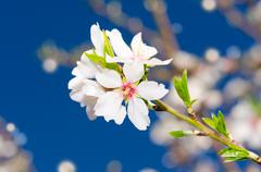 small bunch of white spring blossom - stock photo