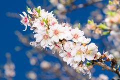 Spring blossom of apricot tree Stock Photos