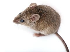 Mouse isolated on white background Stock Photos