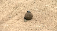Dung beetle on the road - HD Stock Footage