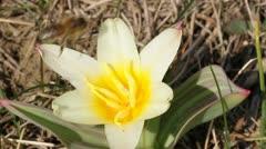 Yellow tulip close-up Stock Footage