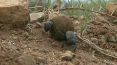 Dung beetle - HD Stock Footage