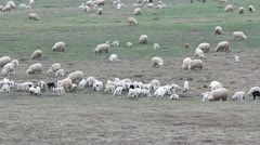 Early spring meadow with a heard of lambs and sheeps looking for food Stock Footage