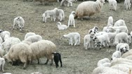 One black lamb near white lams and sheep on the village  field Stock Footage